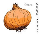 onion. vegetable. ink botanical ... | Shutterstock .eps vector #1896956230