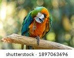 Hybrid Macaw. This Specimen Was ...