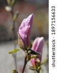 Magnolia George Henry Kern  ...