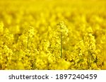 Bright Canola Rapeseed Field At ...