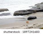 Golden Retriever Dog On The...