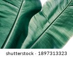 Tropical Banana Palm Leaf...
