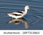 An American Avocet Looking For...