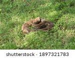 Coiled Timber Rattlesnake In...