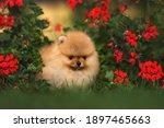 Cute Small Pomeranian Spitz...
