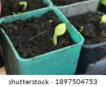 young seedling of pumpkin in...   Shutterstock . vector #1897504753
