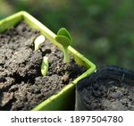 close up of pumpkin seedling in ...   Shutterstock . vector #1897504780
