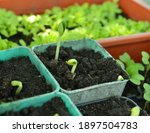pots with sprouts of pumpkin in ...   Shutterstock . vector #1897504783