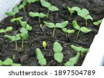 close up of cucumber sprouts in ...   Shutterstock . vector #1897504789