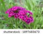 Flowerbed Of Dianthus Barbatus. ...