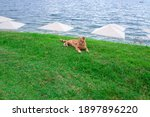 Ginger Cat Lies On The Grass On ...