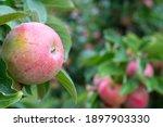 Fresh Ripe Red Apples Growing...