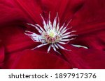 Red Rebecca Clematis Flower...