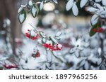 Red Berries Of Pyracantha In...