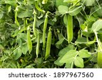 Green Peas Grow In The Garden....