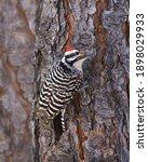 Ladder Backed Woodpecker ...