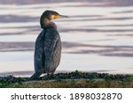 Young Cormorant Standing On A...