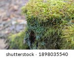 Up Close Thick Green Moss...