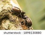 Two Rhino Beetle On Tree Trunk
