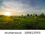 Farm cow on sunrise