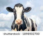 Cute Cow  Black And White...