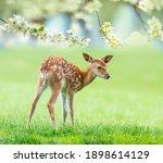 Fallow Deer  Baby Animal In...