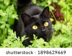 Beautiful bombay black cat portrait with yellow eyes closeup in green grass in nature in spring summer garden
