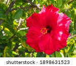 Chinese Hibiscus Or Rose Mallow ...