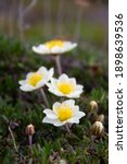 Small photo of Close-up of a few arctic mountain avens on the arctic tundra that thrive in the cold