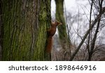 Squirrel Climbs Up The Tree