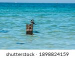 Pied Cormorant Perching On A...