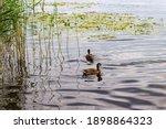 Two Mallard Duck Swimming On A...