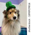 Tiny Purebred Sheltie Dog With...