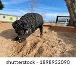 Active Senior Black Poodle...