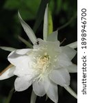 Small photo of Selective focus of Bunga Wijaya Kusuma or Disocactus anguliger, commonly known as the fishbone cactus or zig zag cactus, native to Mexico. The species of its fragrant flowers in the fall