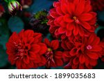Red blooming dahlias in the...