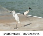 Great White Egret And...