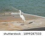 Profile Of Great White Egret...