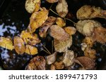 Yellow Leaves Floating In The...