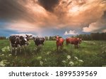 Small photo of cows on a Finnish pasture