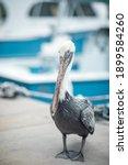 Brown Pelican Close Up....