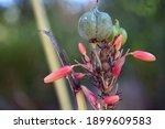 Redflower False Yucca Seed Pod...