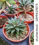 Focus On Fore Plant  Echeveria...