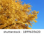 Trees With Golden Autumn Leaves ...