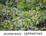 Melaleuca Alternifolia Is Known ...