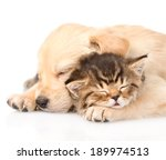 Stock photo closeup golden retriever puppy dog sleep with british kitten isolated on white background 189974513
