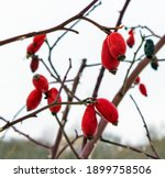 Red Thorn Berries On A Blurred...