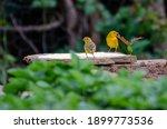 Free Yellow Canary Bird Couple...