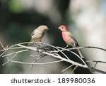 Female House Finch  Haemorhous...
