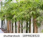 The Green Leaf Bamboo In Garden ...